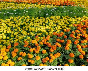 Full Frame Background of Colorful Yellow and Orange Marigold Flowers Field