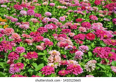 Full Frame Background of Fresh Pink Flower Field in the Park with Selective Focus