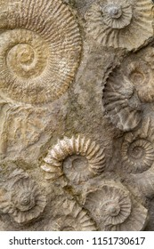 full frame background showing lots of ammonite fossils
