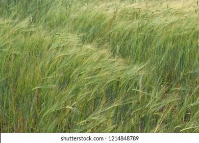 Full frame barley cereal crop growing in field