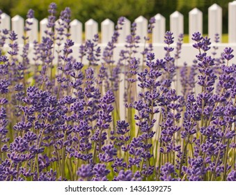 A full frame of beautiful fresh lavender growing in abundance in front of a white picket fence. The lavender is in sharp focus in the front and gradually becomes softer in focus back nearer the fence