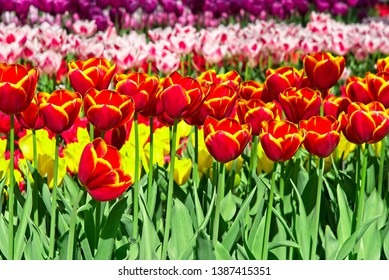 Full frame of curved stripes of colorful pink, purplle, red and yellow tulips.
