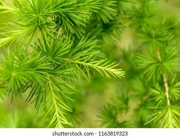full frame fresh green larch twigs closeup