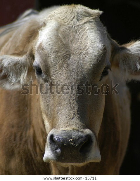 Full frame head-on portrait of a cow.