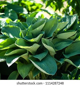 Full frame Hosta leaves pattern background. Summer plants