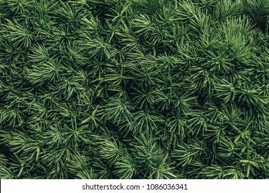 full frame image of pine tree needles background