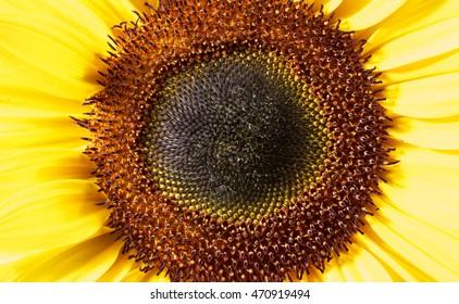 full frame macro shot of a sunflower