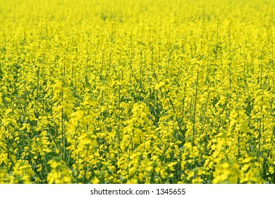 A full frame photo of a field of rapeseed in bloom, the focus on the centre ground.