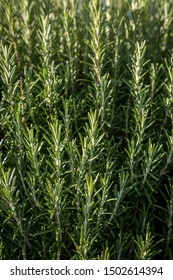 A full frame photograph of a rosemary bush, with a shallow depth of field