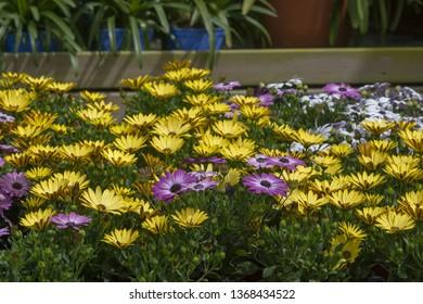 Full frame of purple and yellow daisy flowers full frame summer garden