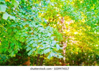 Full frame selective focus trees, golden green backgrounds of trees and nature.