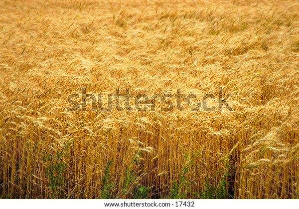 A full frame shot of wheat.