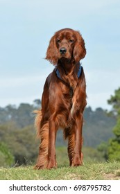 Full front body of a brown purebred Irish Setter dog with attentive facial expression standing on a grass hill in front of blue sky background.