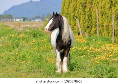 Full front view of an adult Scottish Clydesdale horse standing in the pasture during the summer months.