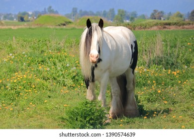 Full front view of a beautiful Clydesdale horse standing in the meadow facing camera.