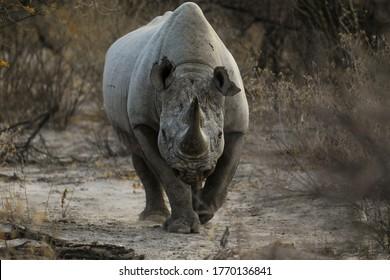 Full front view of black rhino charging toward camera