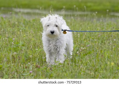 full front view of white miniature Schnauzer Dog standing in a field on a leash