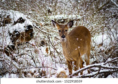 Full frontal of a doe in the snowy woods