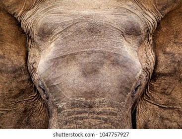 Full frontal elephant bull in Addo Elephant National park