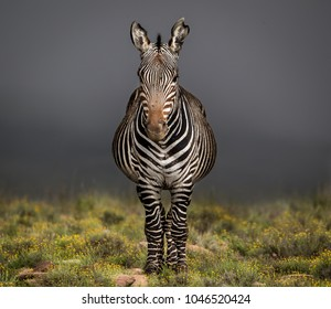 Full frontal portrait of a Cape Mountain Zebra (Equus zebra zebra) taken  in the Mountain Zebra National Park, South Africa against a stormy Karoo sky.
