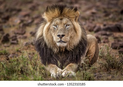 Full frontal portrait on an African Male lion surveying his territory. South Africa