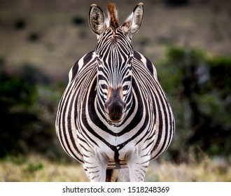 Full frontal portrait of a pregnant Plains or Burchell's Zebra.  Addo Elephant National Park. South Africa