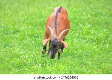 Full frontal view of an Oberhasli dairy goat distinguished by a straight black mark running down the animal's back.