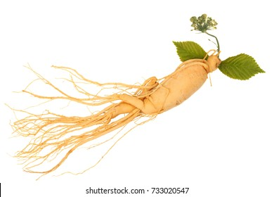 Full ginseng plant root lying on white background
