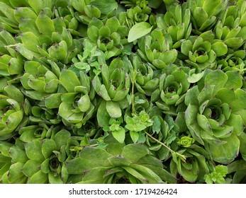 Full green succulent garden background - essy gardening plants.
