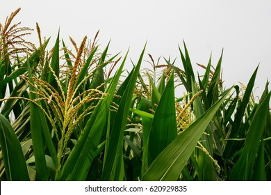 Full grown maize plants, male flowers against the sky, mature plants,corn field