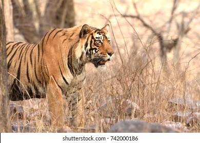 Full grown Royal Bengal Tiger male looking towards herd of deers.
