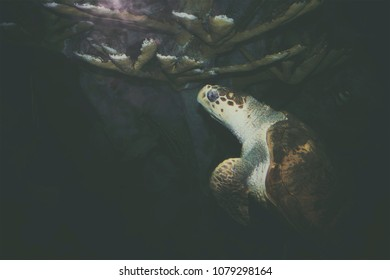 A full grown sea Turtle diving at an aquarium.