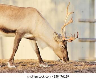 full grown shaggy Reindeer with peeling shedding velvet on antlers