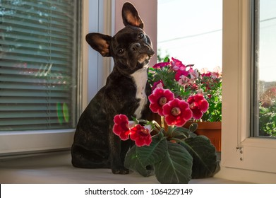 full growth black small, young French bulldog, pet, dog. Active, inquisitive room dog sitting, looking. Summer background is window, flowers Petunia, houseplant. gloxinia, campanula, Sinningia in pot