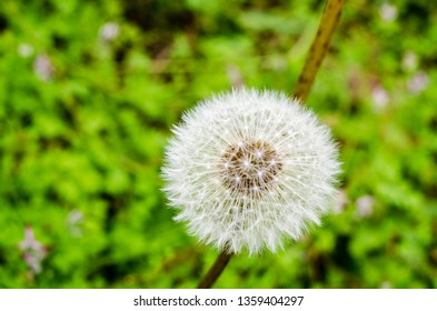 the full head of a dandelion gone to seed awaits a whispering wind