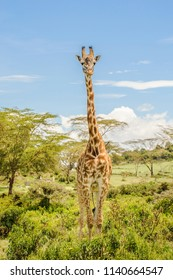 Full height photo of a Masai or Kilimanjaro Giraffe standing in bushes on a beautiful sunny day in Hell's Gate National Park on a safari in Kenya