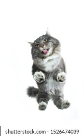 full length bottom up view of a cute blue tabby maine coon cat standing on glass pane licking it in front of white background