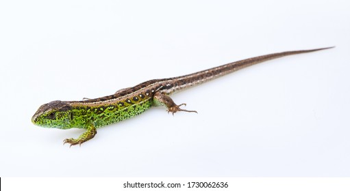 Full length green sand lizard (Lacerta agilis Linnaeus) isolated on white background. Studio shot - Shutterstock ID 1730062636