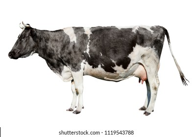 Сow full length isolated on white background. Funny cute cow isolated on white. Young spotted black and white cow standing front of white background.  Farm animals