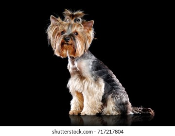 Full length picture of a sitting Yorkshire Terrier  isolated on black studio background