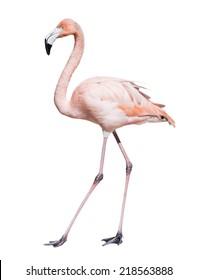 Full Length of pink flamingo. Isolated over white background