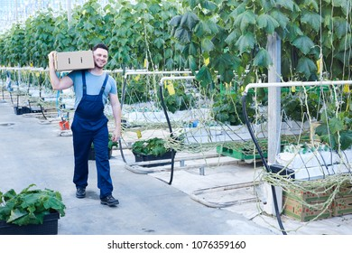 Full length portrait of cheerful farmer carrying box of cucumbers while gathering harvest on plantation in greenhouse, copy space