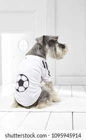 Full length portrait of dressed Miniature Schnauzer in the white room. Back view of the dog in a T-shirt. The pet sitting on the floor on the rug in the hallway, looking to the side, ready to go out.