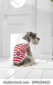 Full length portrait of dressed Miniature Schnauzer in the white room. Back view of the cute dog in a sailor tank top. The pet sitting on the floor on the rug in the hallway, looking to the side.