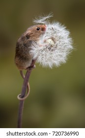 A full length portrait of a harvest mouse climbing up a dandelion clock with tail wrapped around the stem