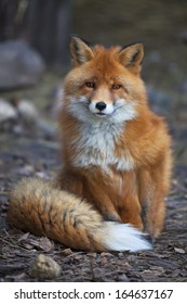 Full length portrait of a posing red fox male in natural environment. The beautiful forest wild beast. Smart look of a dodgy vulpine. Eye to eye with one of the most grace wood inhabitant.