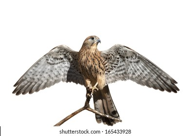 The full length portrait of a rock kestrel, Falco tinnunculus. Front view of a beautiful bird with stretched wings, isolated on white background. Wild beauty of the feathered world.