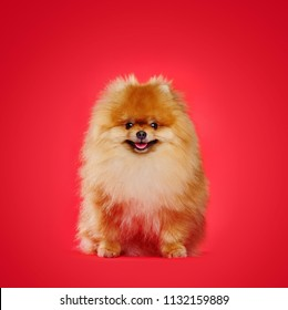 Full length portrait of a sitting red pomeranian spitz against red background