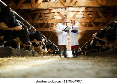 Full length portrait of two modern farm workers wearing lab coats walking by row of cows in shed and holding clipboards inspecting livestock, copy space