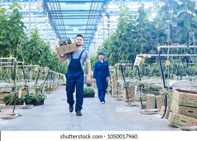 Full length portrait of two workers on plantation carrying boxes with rich harvest in greenhouse of modern farm, copy space